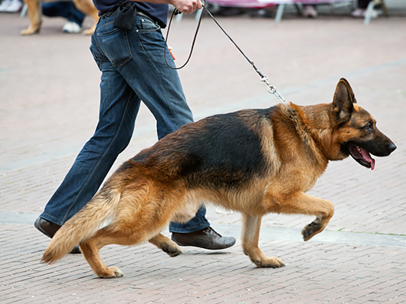 Image result for German Shepherd 犬 走る